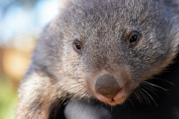 Photograph - Wombat Outside During The Day. by Rob D Imagery