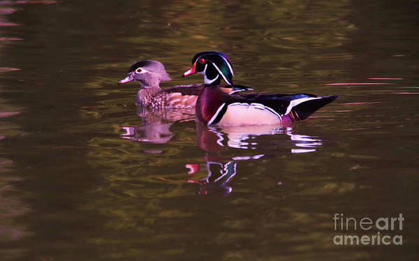 Wall Art - Photograph - Wood Duck Pair by Jeff Swan