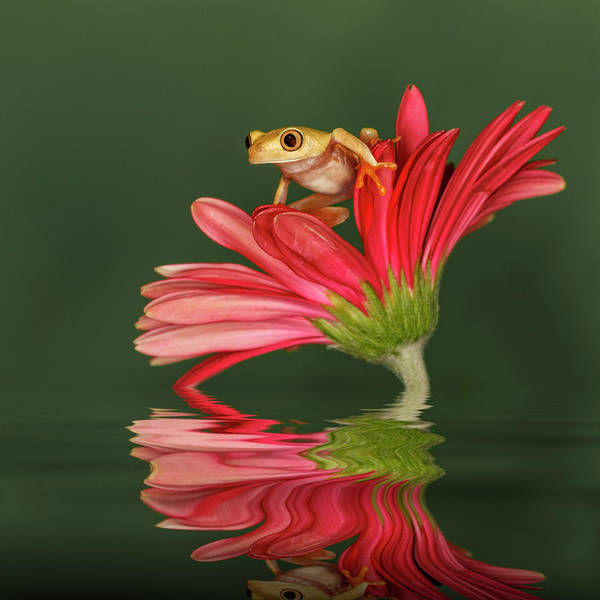 Wall Art - Photograph - Xanthic Red-eyed Tree Frog by Adam Jones