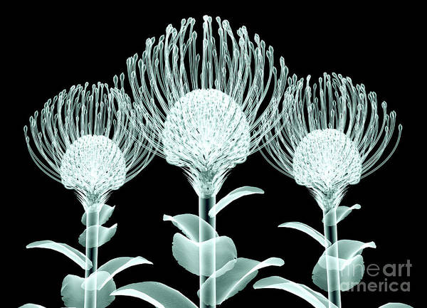 Image Wall Art - Digital Art - Xray Image Of A Flower  Isolated On by Posteriori
