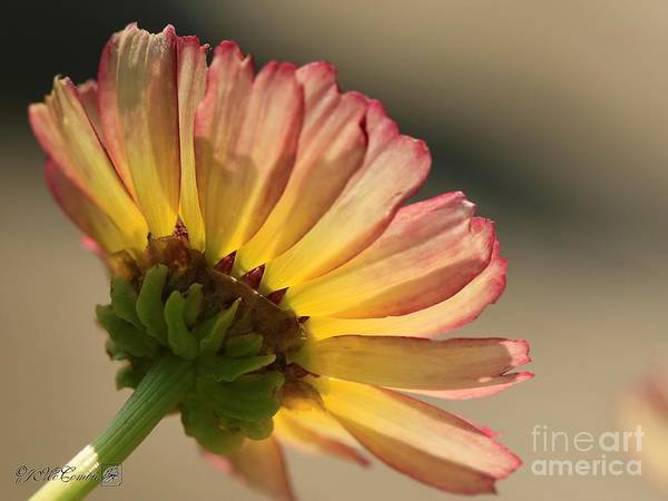 Wall Art - Photograph - Yellow And Red Chrysanthemum From The Dunnettii Choice Mix by J McCombie