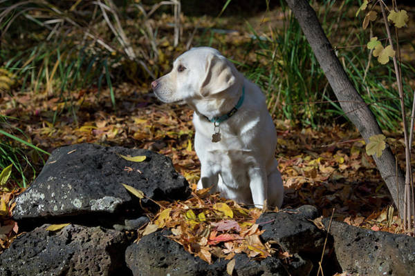 Wall Art - Photograph - Yellow Labrador Retriever by William Mullins