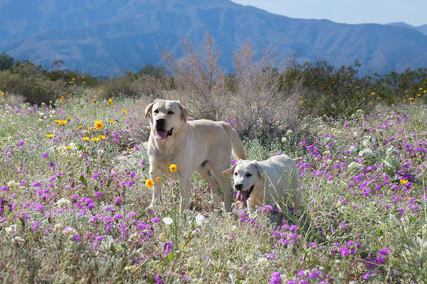Wall Art - Photograph - Yellow Labrador Retrievers Standing by Zandria Muench Beraldo