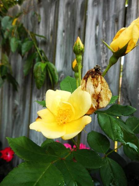 Hurricane Lily Photograph - Yellow Roses by Lord Frederick Lyle Morris - Disabled Veteran