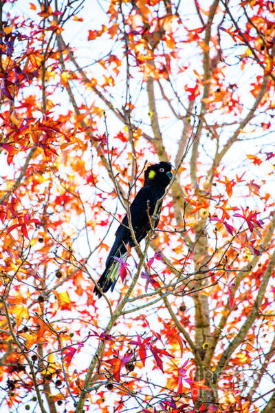 Wall Art - Photograph - Yellow Tailed Black Cockatoo by Sheila Smart Fine Art Photography