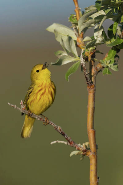 Wall Art - Photograph - Yellow Warbler Singing by Ken Archer