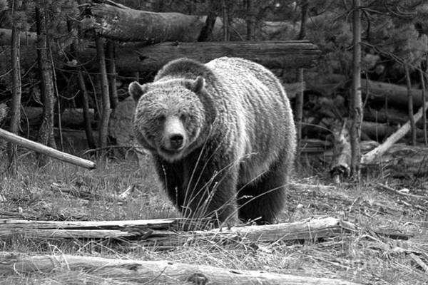 Photograph - Yellowstone Grizzly Among The Logs Black And White by Adam Jewell