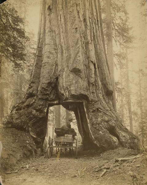Sequoia Grove Photograph - Yosemite Sequoia by Carleton E. Watkins