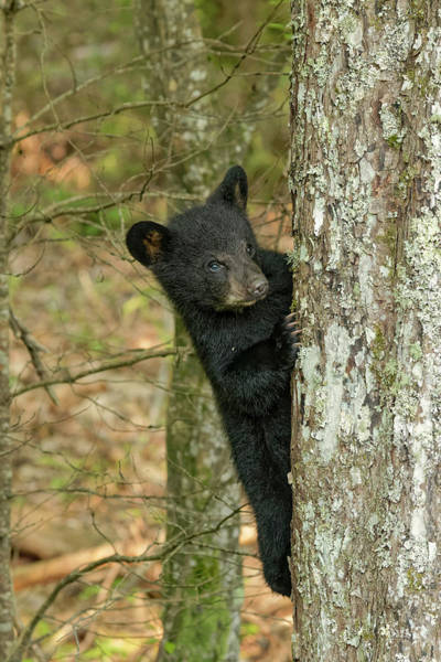 Wall Art - Photograph - Young Black Bear Cub, Ursus Americanus by Adam Jones