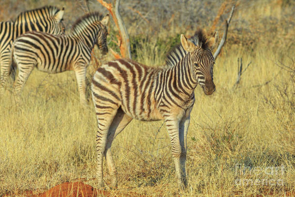Photograph - Young Zebra At Kalahari by Benny Marty