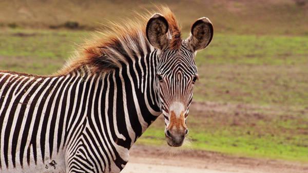 Photograph -  Zebra Foal by Eye to Eye Xperience