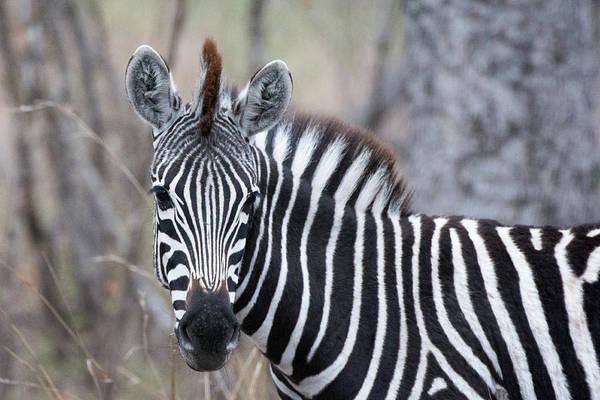 Photograph - Zebra Portrait by Mark Hunter