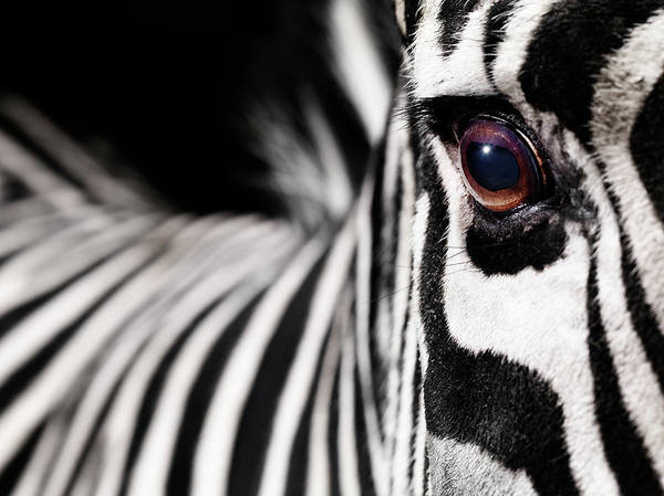 Zebra Pattern Photograph - Zebra´s Eye by Henrik Sorensen