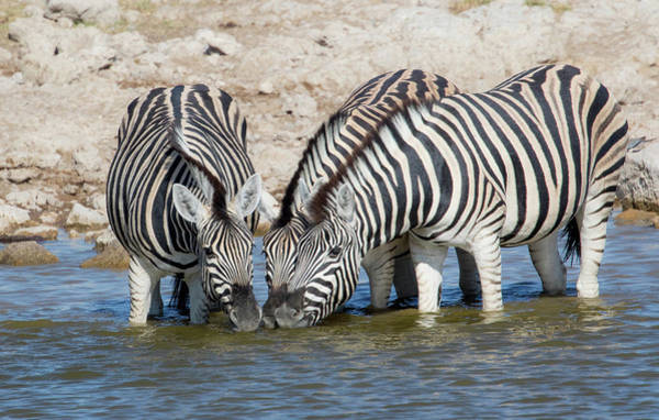 Zebras Lined Up Drinking At Waterhole Art Print by Darrell Gulin