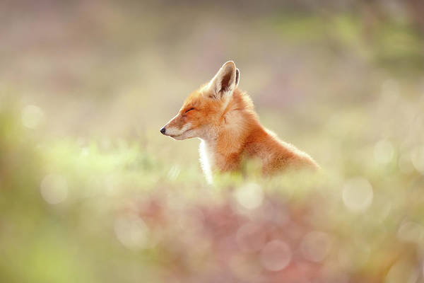Cute Overload Photograph - Zen Fox Series - Just Happy by Roeselien Raimond