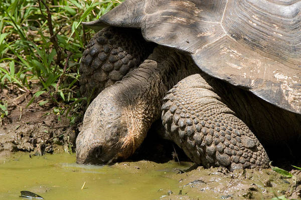 Wall Art - Photograph - Galapagos Giant Tortoise by David Hosking