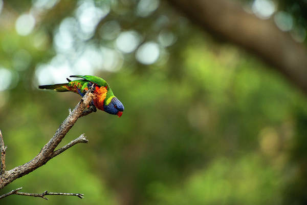 Photograph - Rainbow Lorikeet by Rob D Imagery