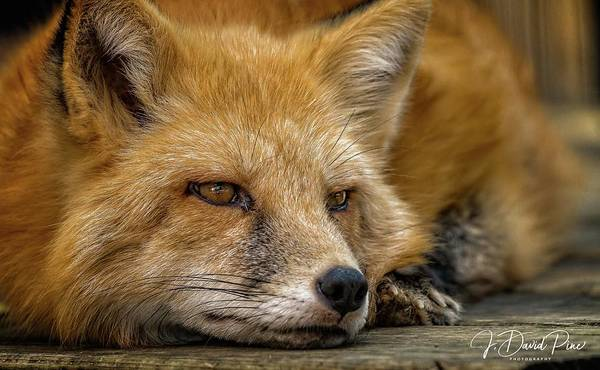 Photograph - Russian Red Fox by David Pine