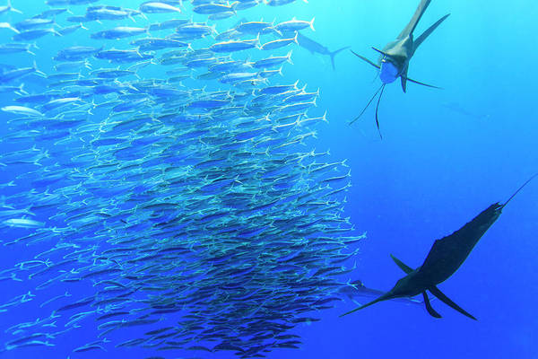 Bait Ball Photograph - Sailfish Feeding On Brazilian Sardines by Stuart Westmorland