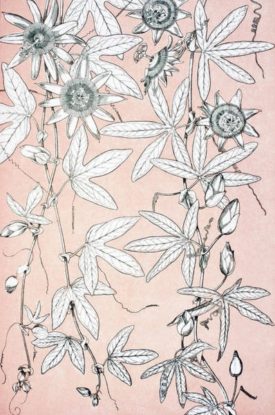 Wall Art - Drawing - The Grammar Of Ornament. Leaves And Flowers From Nature No 10  by Ken Welsh
