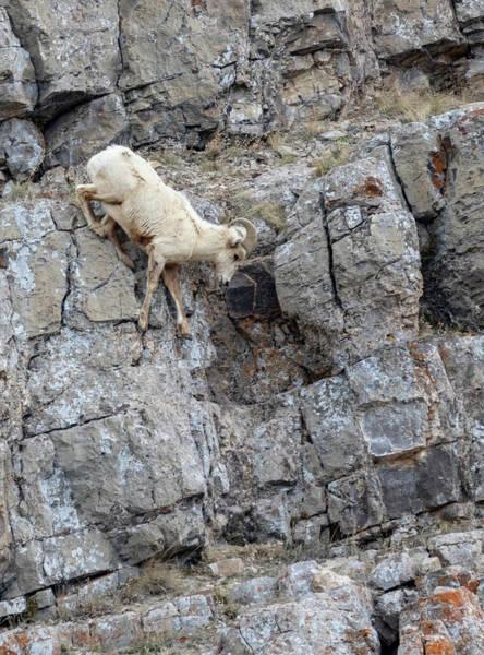 Photograph - Bighorn Sheep by Michael Chatt