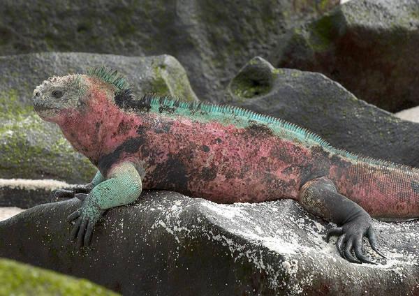 Wall Art - Photograph - Marine Iguana by Michael Lustbader
