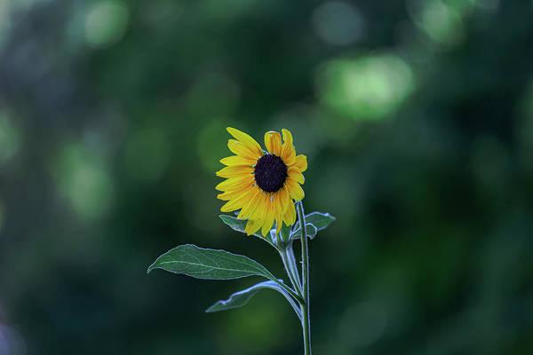 Photograph - Sunflower by Robert Ullmann