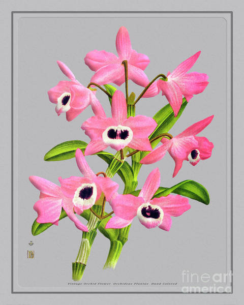 Wall Art - Mixed Media - Orchid Flower Orchideae Plantae Flora by Baptiste Posters