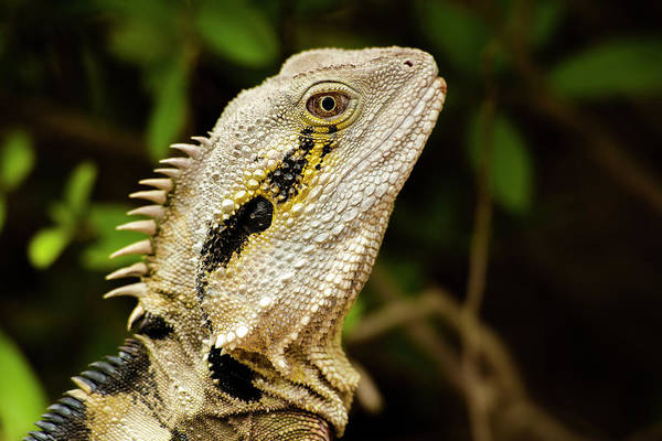 Photograph - Eastern Water Dragon Lizard by Rob D Imagery
