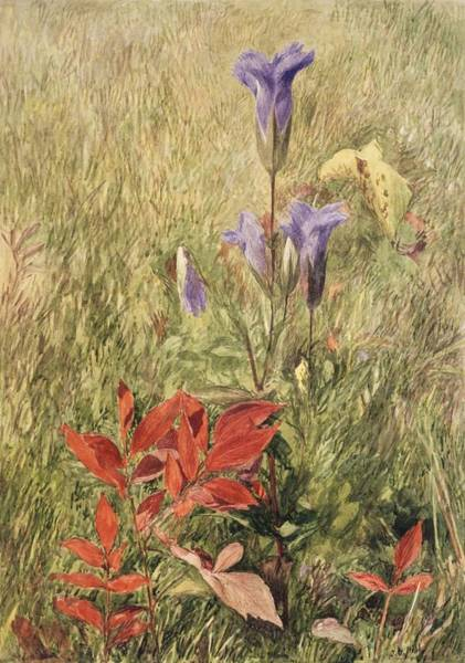 Wall Art - Painting - Fringed Gentians by John Henry
