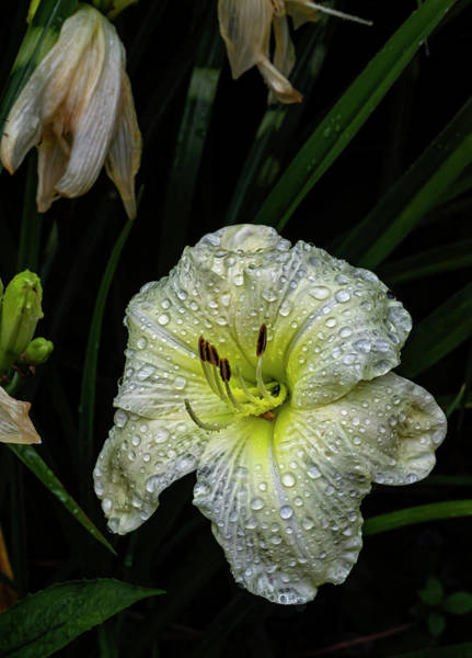 Photograph - Lily And Raindrops by Robert Ullmann