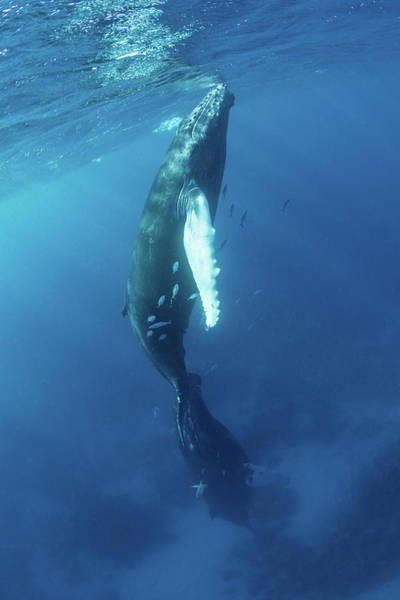 Photograph - Mother And Calf Humpback Whales Swim by Ethan Daniels