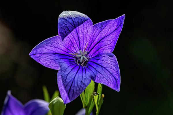 Photograph - Summer Flower by Robert Ullmann