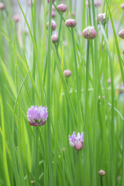 Chive Photograph - Usa, Washington State, Seabeck by Jaynes Gallery