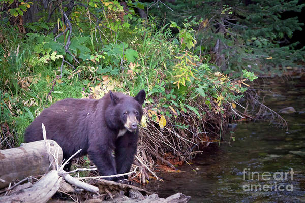 Photograph - 1477 Teton Black Bear by Steve Sturgill