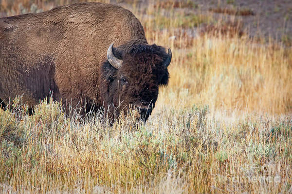 Photograph - 1499 Yellowstone Bison by Steve Sturgill