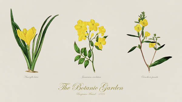 Fall Flowers Drawing - 19th Century Botanical Illustrations Of Flowers From The Botanic Garden By Benjamin Maund by JESP Art and Decor