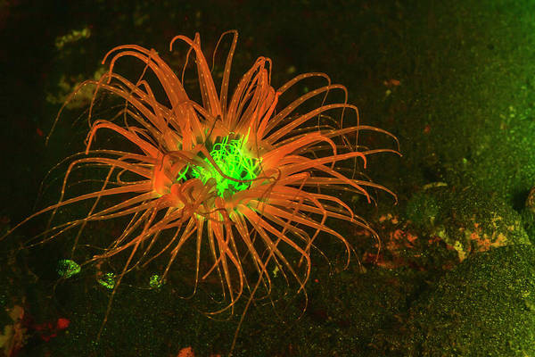 Tube Anemone Photograph - Natural Occurring Fluorescence by Stuart Westmorland