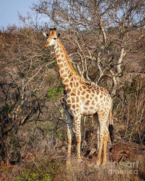 Photograph - 1551 Giraffe by Steve Sturgill