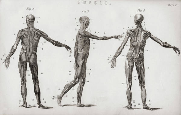 Wall Art - Drawing - Structure Of Muscles In Male Human Body. by Ken Welsh