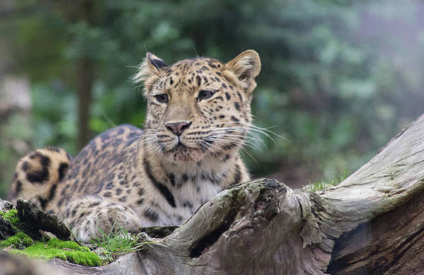 Wall Art - Photograph - Amur Leopard by Martin Newman