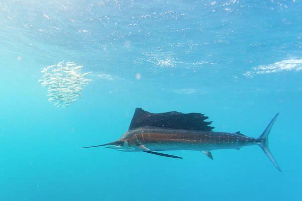 Wall Art - Photograph - Sailfish Feeding On Brazilian Sardines by Stuart Westmorland