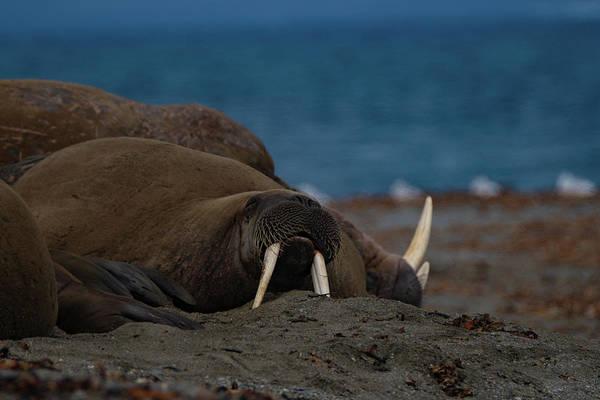 Photograph - Walrus by Kai Mueller