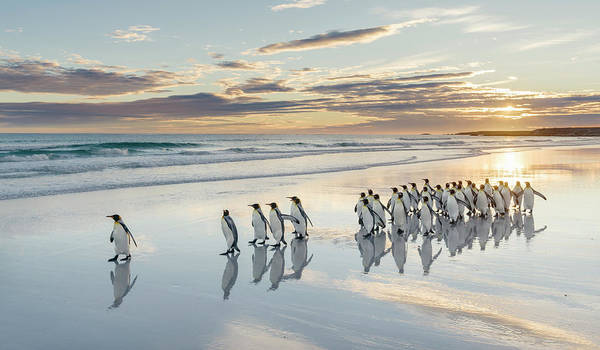 Wall Art - Photograph - King Penguin On The Falkland Islands by Martin Zwick