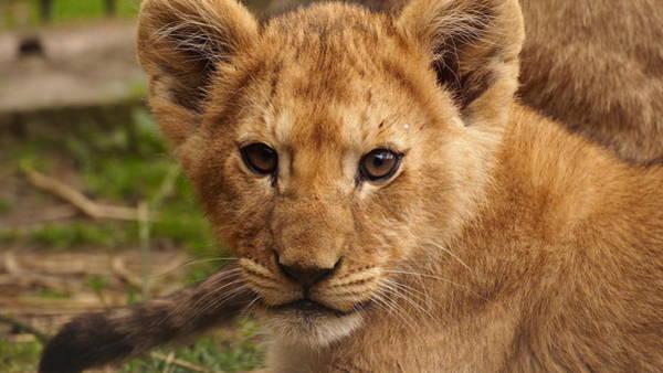 Photograph - Lion Cub by Eye to Eye Xperience
