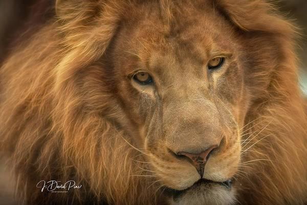 Photograph - Lion by David Pine