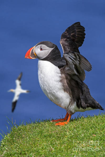 Photograph - Puffin In Scotland by Arterra Picture Library