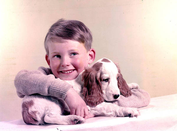 Springer Spaniel Photograph - 1958. A Picture Of A Little Boy Holding by Popperfoto