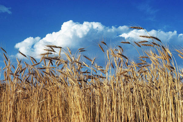 Wall Art - Photograph - 1970s Field Of Wheat Stalks Blue Sky by Panoramic Images