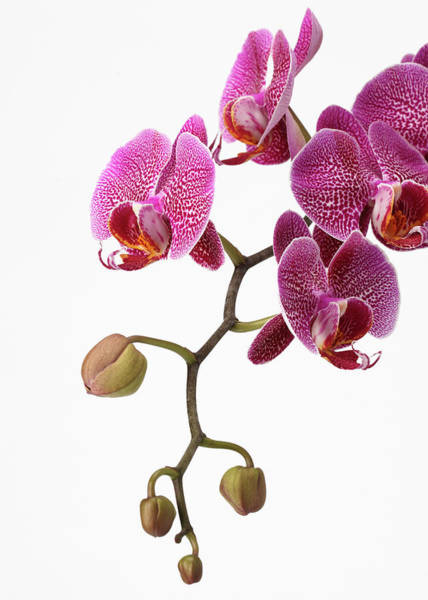 Romance Photograph - A Close-up Of An Orchid Branch by Nicholas Eveleigh